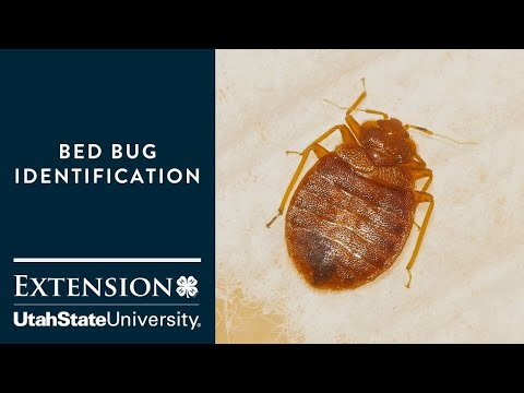 How to Identify Bed Bugs - YouTube