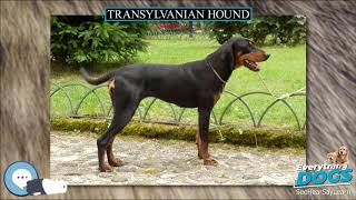 Transylvanian Hound  Everything Dog Breeds