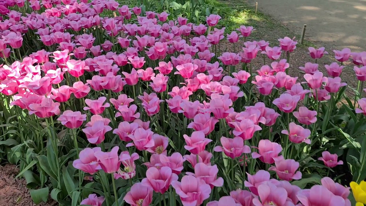 Весна. Тюльпаны. Ботанический сад. «Аптекарский огород». 2021 год