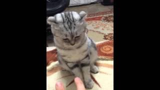 Британская вислоухая кошка играется