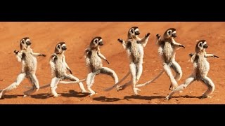 The Dancing Sifakas ~ Jump Around