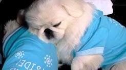 Pekingese Puppies Sleepy snore  BABY Pekingese~~