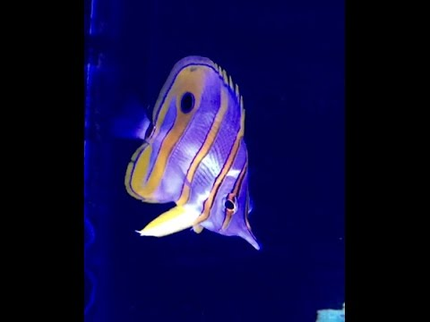 Copperband Butterfly Fish Is Slowly Starving In Reef Tank.