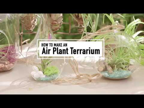 How To Make An Air Plant Terrarium Mississippi State University