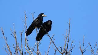 Corbeau freux et corneille noire - Rook and Carrion crow 221 (1080p) thumbnail