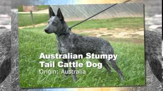 Australian Stumpy Tail Cattle Dog Breed