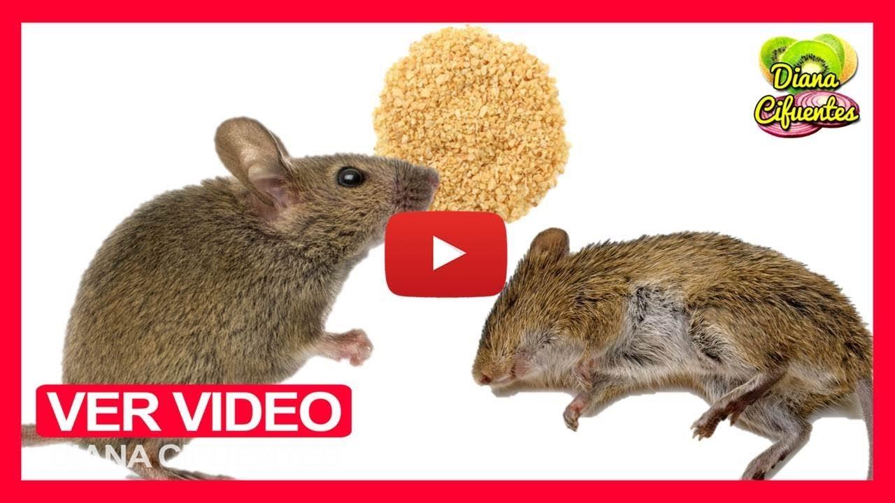 Como eliminar los ratones en casa de forma natural venenos caseros para ratones y ratas youtube - Ratones en casa ...