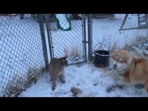Dog vs bobcat