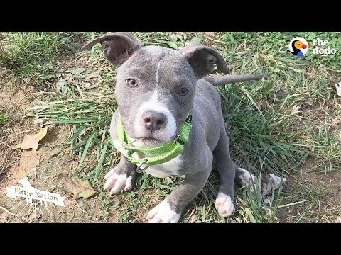 download Pittie Puppy Sets Her Mind To Do The Impossible | The Dodo Pittie Nation