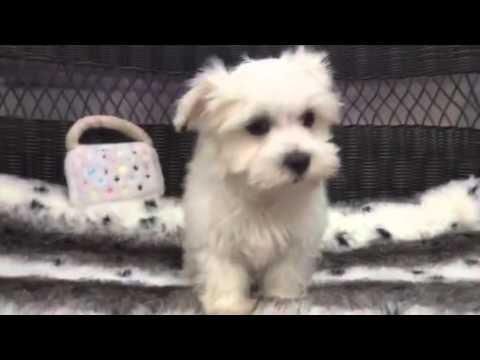 Pure white little Maltese puppy