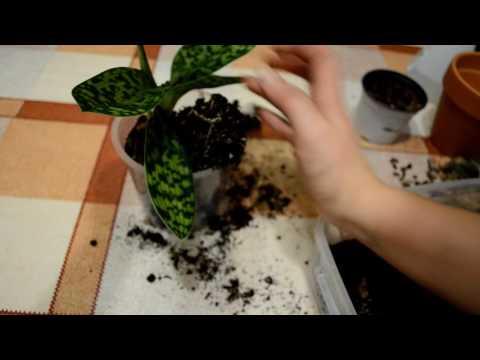 Венерин башмачок. Пафиопедилум (посадка)