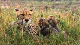 Трейлер «Африканские кошки: Королевство смелости»