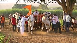 Stud bulls of Kamalapur pulls bullock cart 1667 feet in a mi...