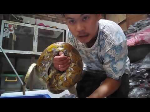 Calico Reticulatus (kuning) @ular#piyton@reptil