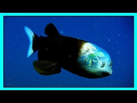 Малоротая Макропинна или БОЧКОГЛАЗ- Единственная Рыба в Мире, Имеющая Прозрачную Голову.
