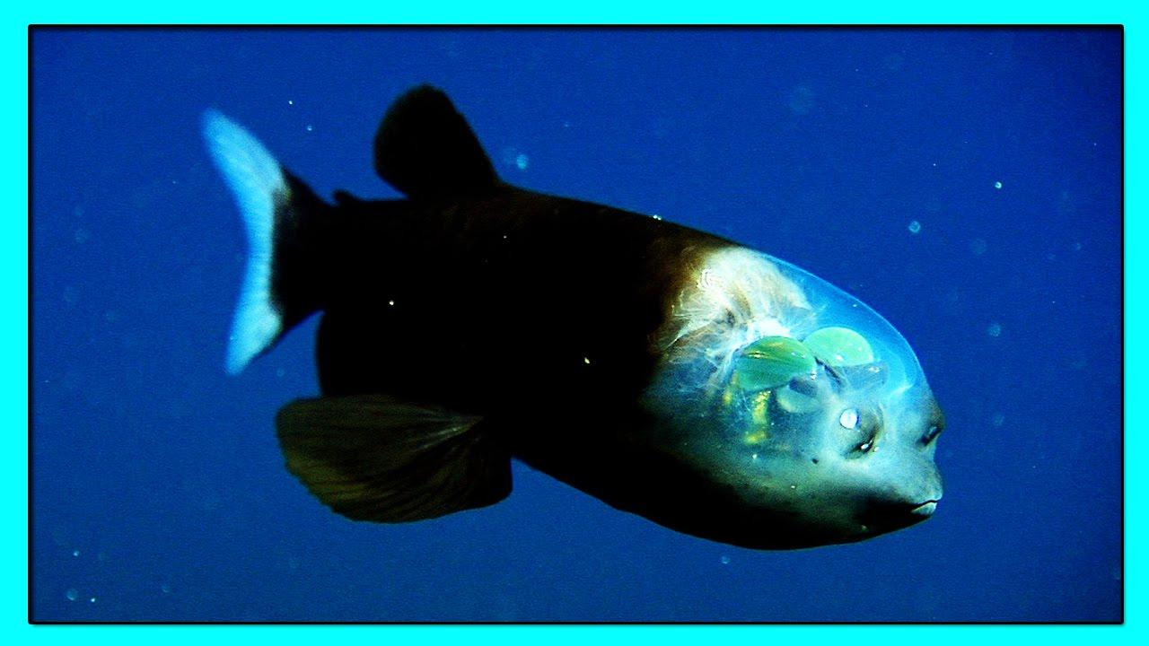 существу фото рыбы с прозрачной головой кричали