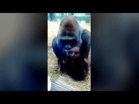Silverback Gorilla puckers up for a KISS