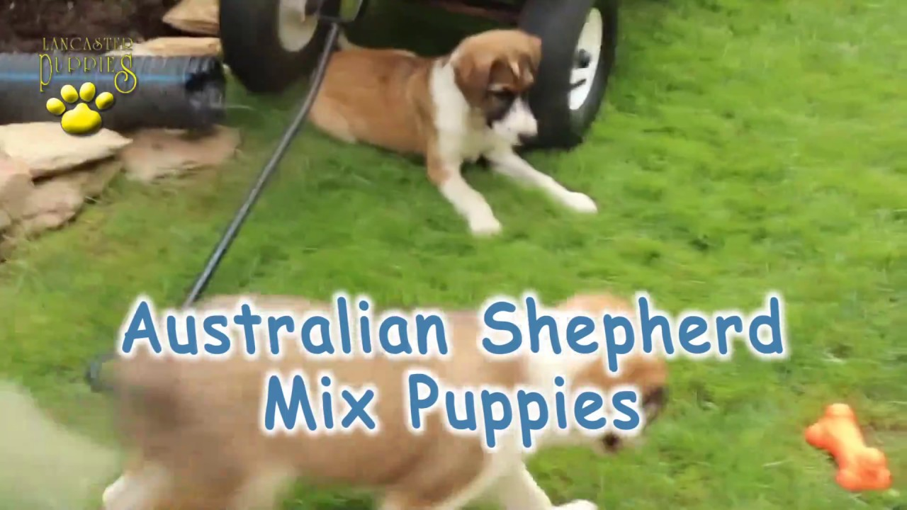 Australian Shepherd Mix Puppies Youtube