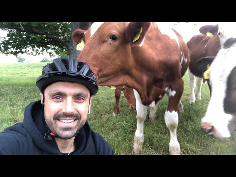 Swarmed by cows while live-streaming!