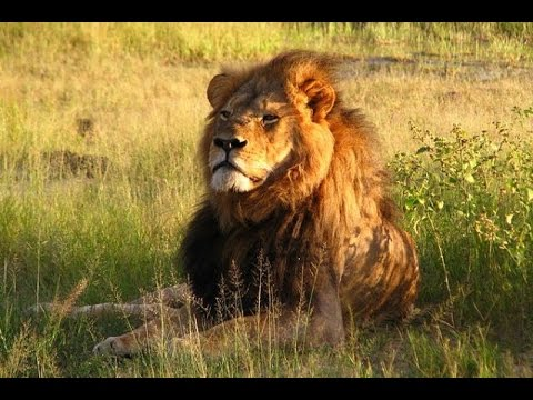 JV's protest song against trophy hunting and the illegal killing of Cecil the Lion