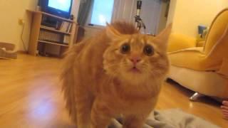 Рыжий кот Бозон - Шипит на шляпу Евро-12