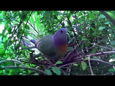 Pink-necked Green Pigeon Nesting