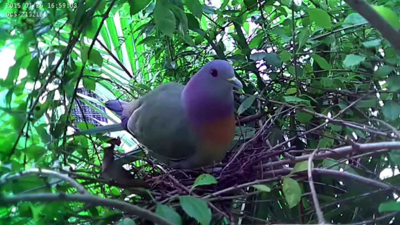 how to get rid of pigeon nest