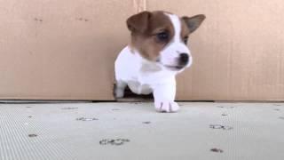 2015年3月4日生まれのジャックラッセルテリアの子犬です。