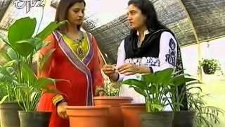 madhavi gardening spathyphylum