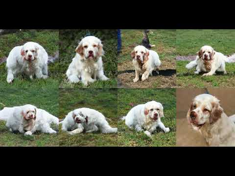 Generating Clumber, Clumber Spaniel with Deep Learning