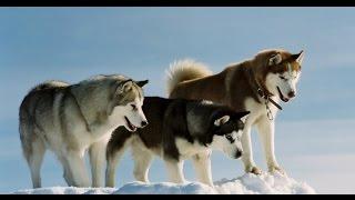 Белый плен - Снежные волки - Eight Below - Snow Wolves