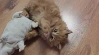 рыжий , котенок злится!!!