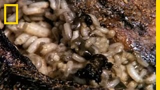 Hundreds of maggots are used to clean a woman's open wound. ➡ Subscribe: http://bit.ly/NatGeoSubscri.