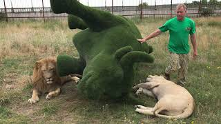 Герда играет с волшебным тапком! Photoshoot with lions in Crimea!
