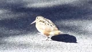 Yarım Gorani Oynayan Muş lu Kuş