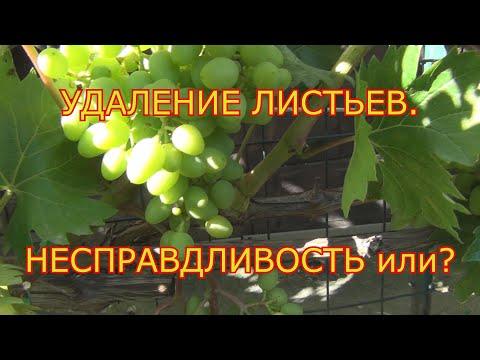 Удаляем листья на винограде. Кажущаяся НЕСПРАВЕДЛИВОСТЬ