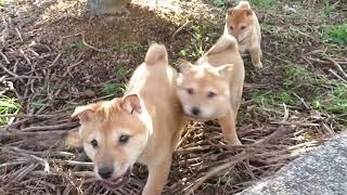 畑で遊ぶ山陰柴犬の子犬3兄妹。
