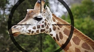 Giraffe Gets Beheaded On Camera - Sparks Outrage On Social media