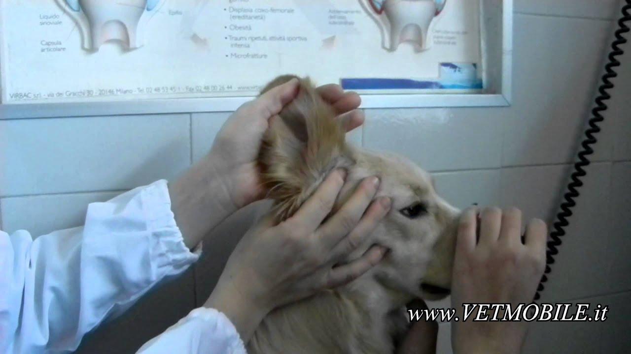 Come pulire le orecchie del cane: prodotti e rimedi | DonnaD