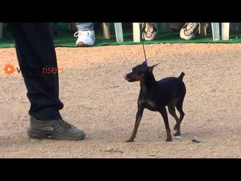 Miniature Pinscher dog in all breeds dog show 2013