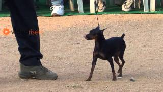 Miniature Pinscher Dog In All Breeds Dog Show 2013