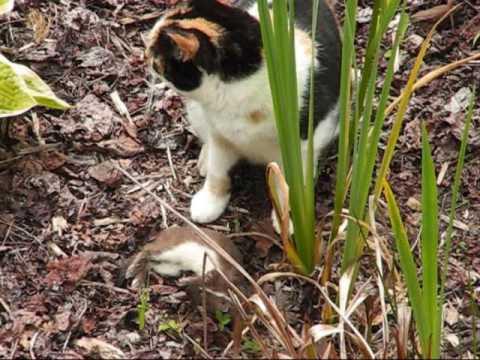 Cat kills stoat