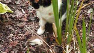 Cat kills stoat - Rabbits love this video