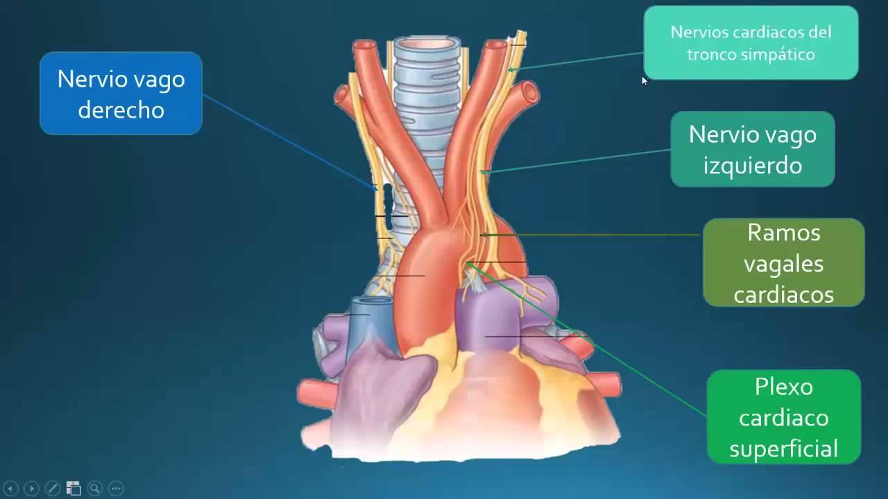 Encantador Anatomía Superficie Del Corazón Colección de Imágenes ...