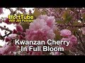 Details About Kwanzan Cherry Trees - Double Pink Flowers