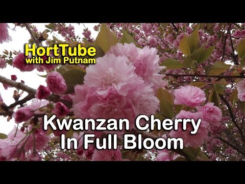 Kwanzan Cherry Tree Pictures
