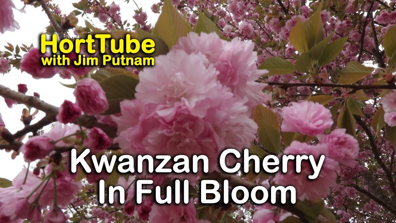 Details About Kwanzan Cherry Trees Double Pink Flowers Youtube