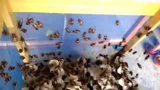 видео Выращивание сверчков в пищу, ферма насекомых