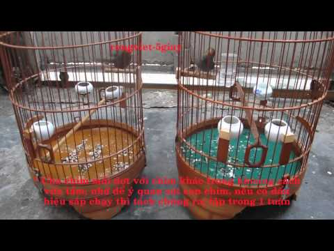 Hướng dẫn cách luyện chim sâu đầu đỏ mồi của rồng việt_0918558091