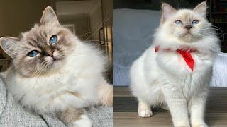 BIRMAN CATS 2021